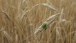 Stink bugs on a wheat spike