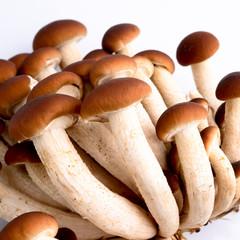 funghi pioppini - Agrocybe aegerita mushrooms