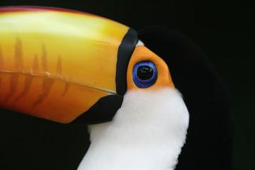 Toco toucan, Ramphastos toco