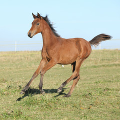 Perfect arabian horse foal running on pasturage
