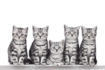 Fünf britisch Kurzhaar Kätzchen in Reihe