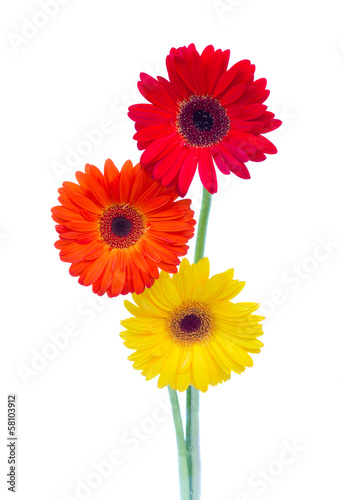 three gerbera flowers close up