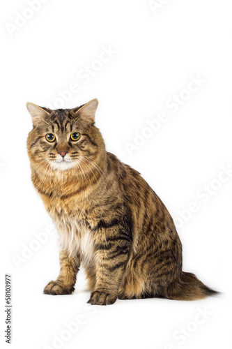 Kuril Bobtail Cat