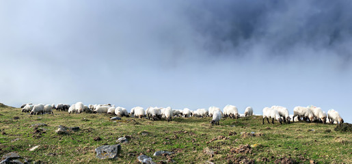 flock of sheep grazing with fog