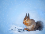 Beautiful squirrel sits and holds in paws food. Blue Christmas w