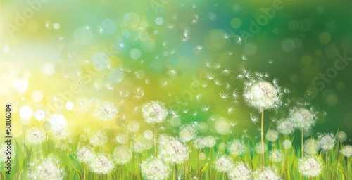 Vector of spring background with white dandelions. © rvika