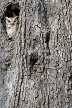 Petit-duc à collier regardant de nesthole.