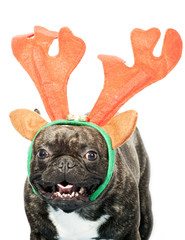 French bulldog dressed up for Christmas