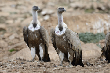 Two griffon vultures standing on the ground.
