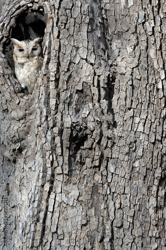 Collared Scops Owl looking out of nesthole.