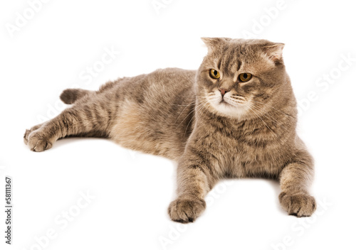 Adult  Scottish Fold cat lies on white isolated background