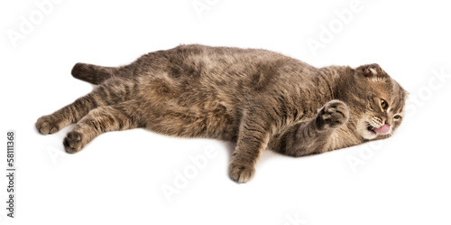 Adult licking lips Scottish Fold cat lies on white isolated back