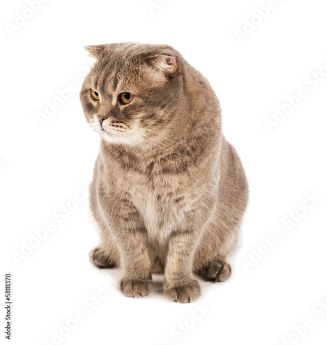 Adult Scottish Fold cat sitting in front on white isolated backg