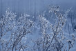 Winter forest, the plants covered with frost. Winter floral back