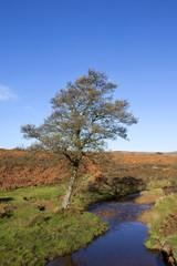 moorland alder tree