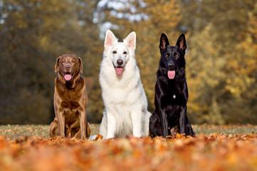 3 Hunde zeigen ihre Zunge