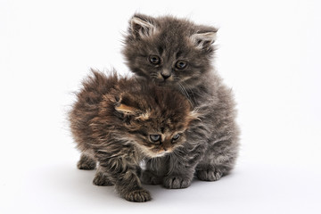 Two playing kitten on the white background
