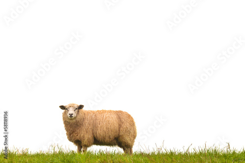 Deurstickers Schapen Mature sheep isolated on white