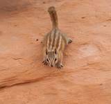 Curious Chipmunk