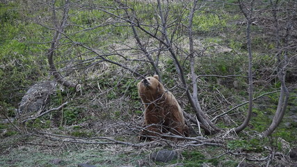 Brown bear. Courtship. Marking.