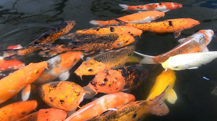 beautiful carp fish swimming in pond