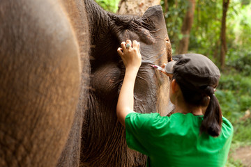 Veterinarian collecting blood sample from ear of Asian elephant