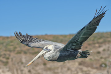Pelican while flying