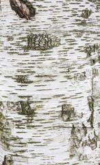 Birch bark texture, high resolution..