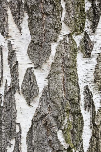 Birch bark texture, high resolution..