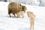 Mother breast feeding her little lamb.  Maternal instinct. poster