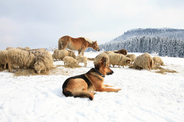 German Shepherd guarding herd of sheep feeding Skudde.