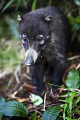 Portrait of a coati of central America