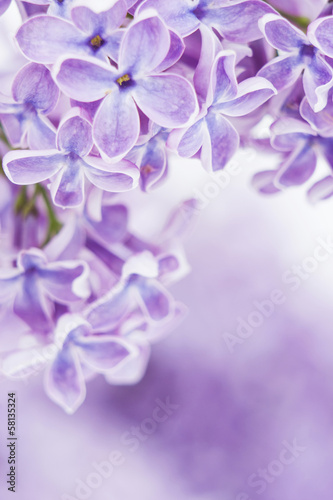 Foto op Canvas Lilac Blooming lilac flowers
