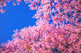 Full Bloom Cherry Blossom with Blue Sky Background