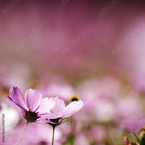 field of daisy flowers © nicholashan
