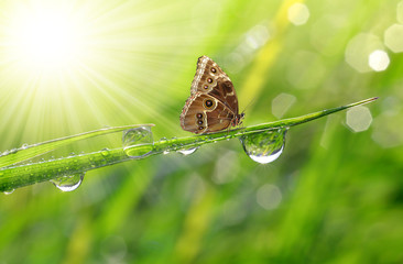 Water drops on green grass and butterfly Morpho