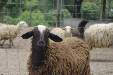 brown and white sheep close up with pluffy fur