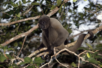 Brown or Common woolly monkey, Lagothrix lagotricha