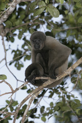 Brown or Common woolly monkey, Lagothrix lagotricha