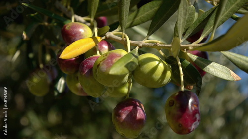 Olives on tree close up