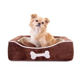 Chihuahua im Körbchen