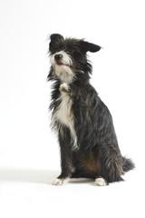 chien noir-blanc