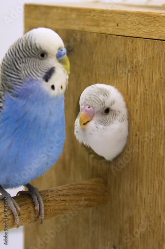 the chick and  budgie  are in a nest on white background