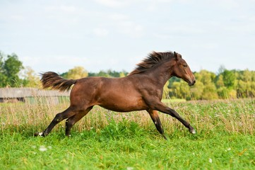 Young bay horse running on the meadow