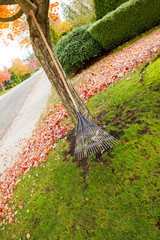 Fan Rake leaning on Maple Tree during Autumn Season