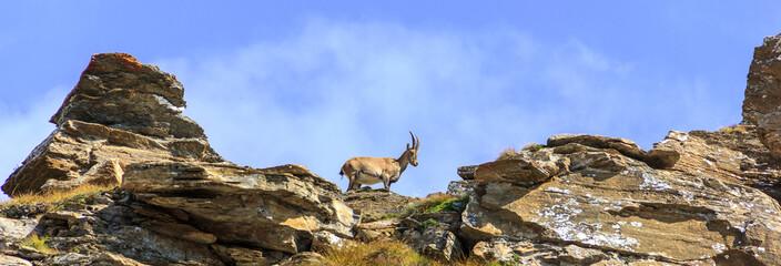 Stambecco in montagna su rocce