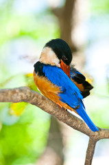 Beautiful Black-capped Kingfisher bird,thailand