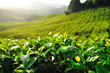 Tea Plantation on the Hill at Cameron Highlands, Malaysia