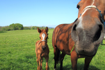 子馬と馬の鼻