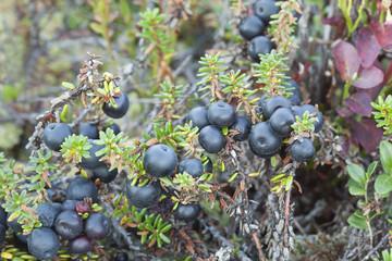 Crowberries, Empetrum nigrum, edible berries